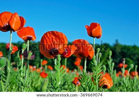 poppy field in Michigan - stock photo