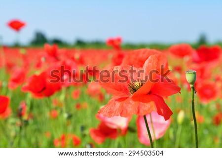 poppy field in summer - stock photo