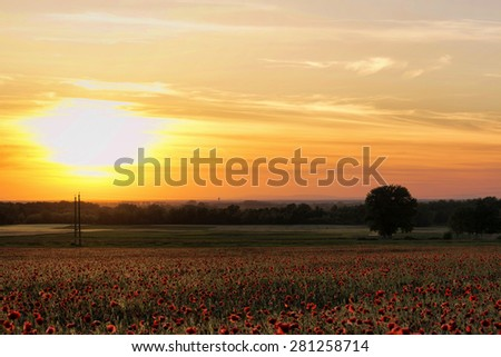 Poppy field in sunset - stock photo