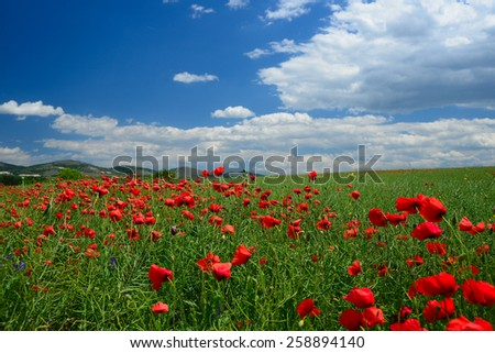 Poppy field on a sunny spring day under blue and cloudy skies - stock photo