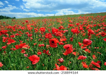 Poppy field on a sunny spring day under blue and cloudy skies. - stock photo