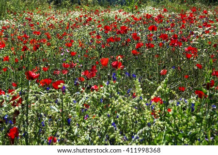 poppy field,poppy,flowers,landscape