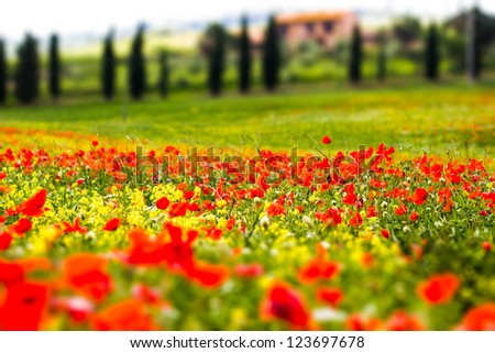 Poppy field, rural landscape - stock photo