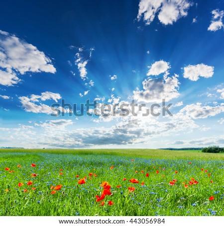 Poppy field, summer countryside landscape with blue sunny sky. Vivid morning light. - stock photo