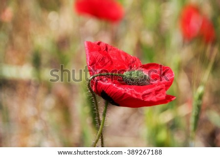 Poppy field. Wild poppy, red poppy, red weed, field weeds. Unusual flowers. Soft focus, shallow depth of field. Soft-effect