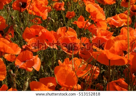 Poppy field. Wild poppy, red poppy. Unusual colors tinted photos. Soft focus, shallow depth of field. Focus blur of wind movement. The warm colors toning, color variations