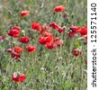 Poppy field with flowering red poppies (Papaver rhoeas) - stock photo