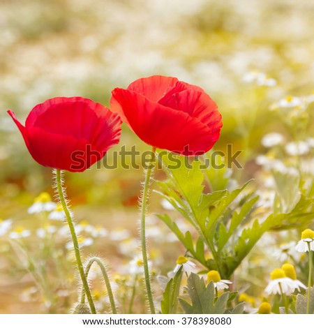 poppy flower in morning light - stock photo