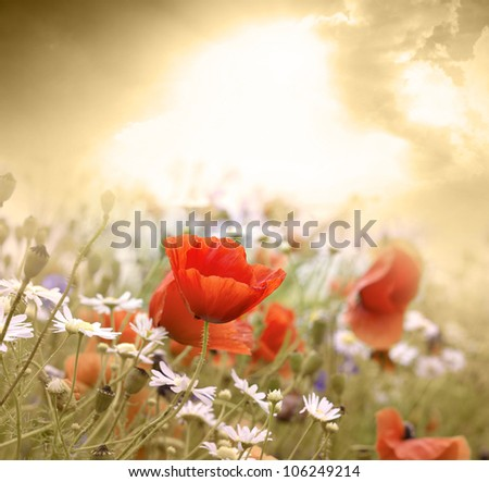 Poppy flower in the sky - stock photo
