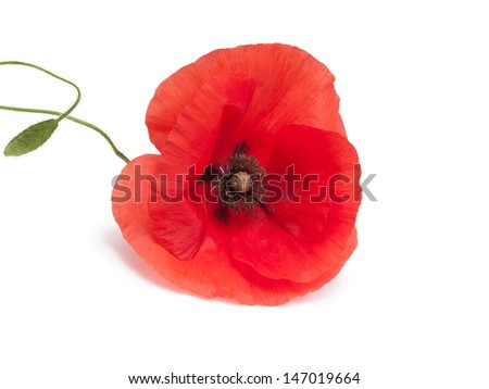 Poppy flower isolated on a white background - stock photo