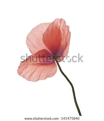 poppy flower isolated on white, poppy flower - stock photo