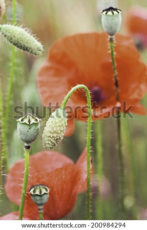 poppy flower macro detail. Flowers buds of poppies in meadow Red wildflower  papaver rhoeas.  Macro of beautiful spring summer wildflowers. Symbol of remembrance day and Flanders field. - stock photo