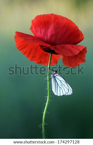 Poppy flower with white butterfly - stock photo