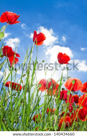 poppy flowers background sunlight and blue sky