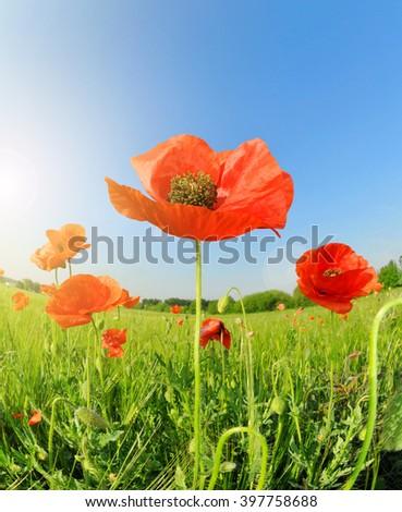 Poppy flowers growing in wheat field - stock photo