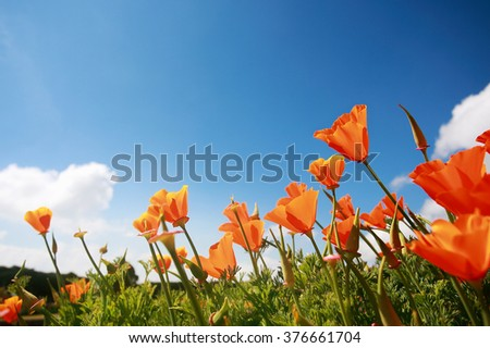 Poppy flowers in the blue sky. - stock photo
