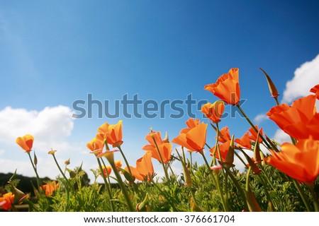 Poppy flowers in the blue sky. - stock photo
