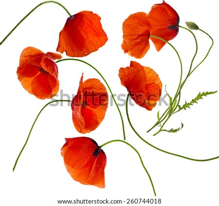 Poppy flowers isolated on white background - stock photo