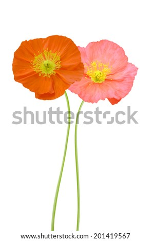Poppy flowers isolated white