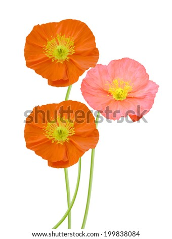 Poppy flowers isolated white background