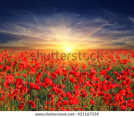 Poppy flowers meadow and nice sunset scene - stock photo