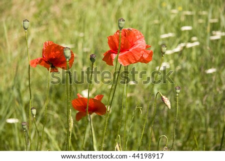 poppy flowers on a green background in the sunlight