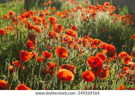 poppy flowers on a meadow - stock photo