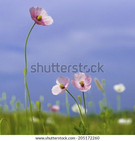 poppy flowers on field - stock photo