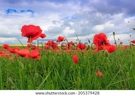 Poppy flowers on meadow at summer time