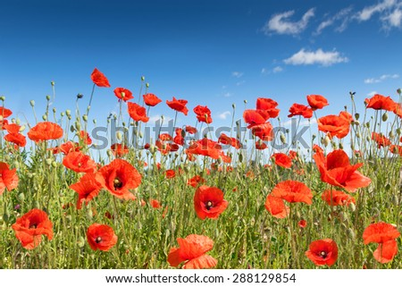 poppy flowers on the field. - stock photo