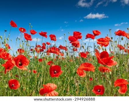 poppy flowers on the field. - stock photo