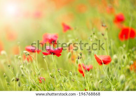 Poppy flowers, outdoors