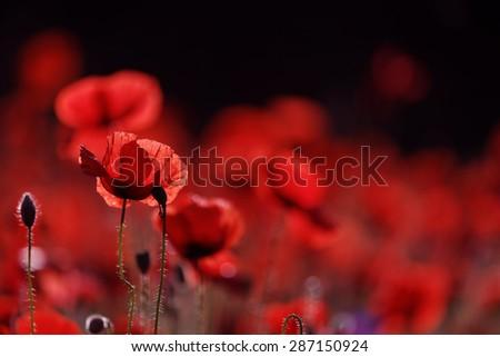 Poppy flowers, spring - stock photo