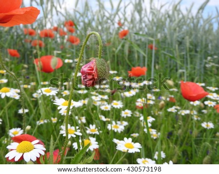 Poppy flowers with Chamomile, in the background is a green crop field, blue sky - stock photo