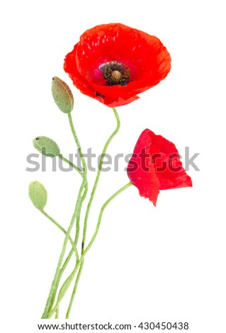 Poppy fresh red flowers with green buds isolated on white background - stock photo