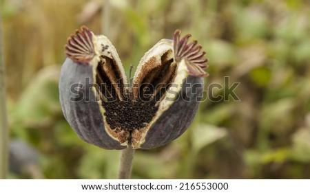 poppy head - stock photo