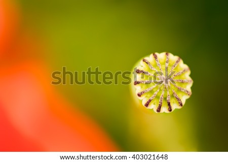 Poppy head with one red petal flowering around. - stock photo