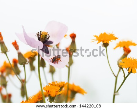 Poppy in dandelion fields - stock photo