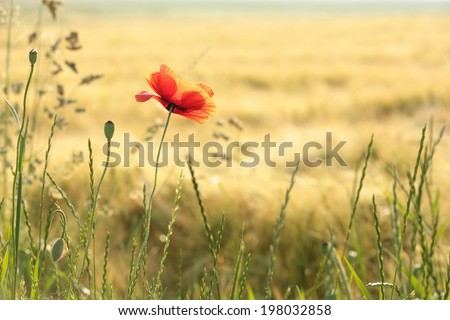 Poppy in the field at dawn. - stock photo