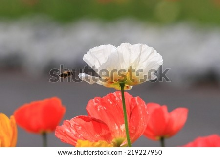 poppy in Toowoomba carnival flowers also symbol of remembrance and middle eastern opium trade - stock photo