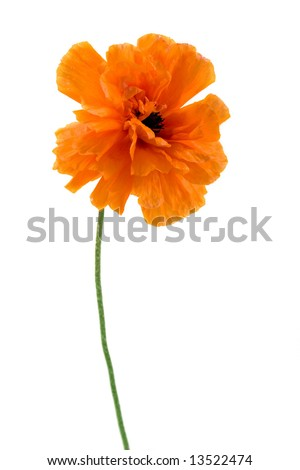 Poppy  isolated on white