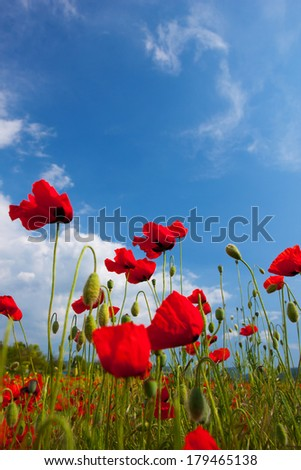 Poppy on background sky