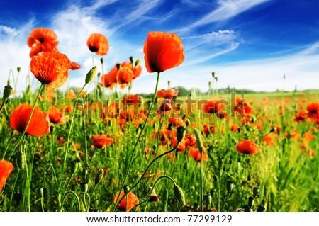 poppy on green field - stock photo