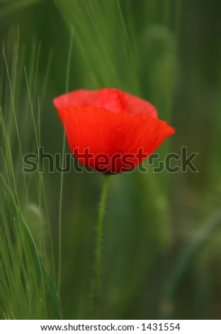 Poppy on natural green background