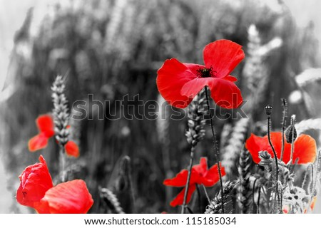 Poppy - Red Poppy Flower - symbol of war - for  Remembrance Day / Sunday. - stock photo