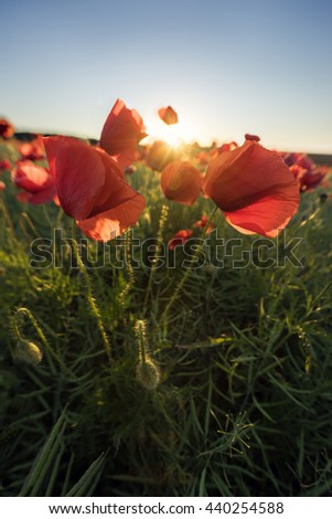 Poppy's field in bloom at summer morning - stock photo