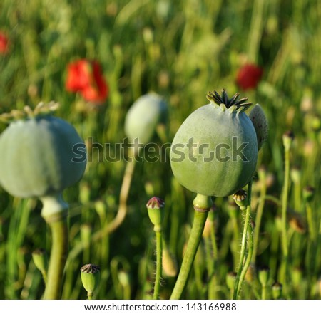 Poppy seed capsules in the field
