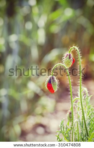 Poppy Two Flowers Over Natural Background - stock photo