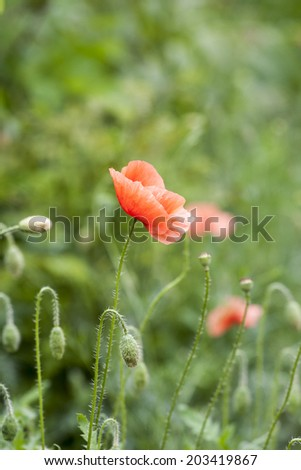 poppy  with out of focus poppy field in background.