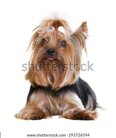 Popular companion dog breed Yorkshire Terrier. Isolated on white  - stock photo
